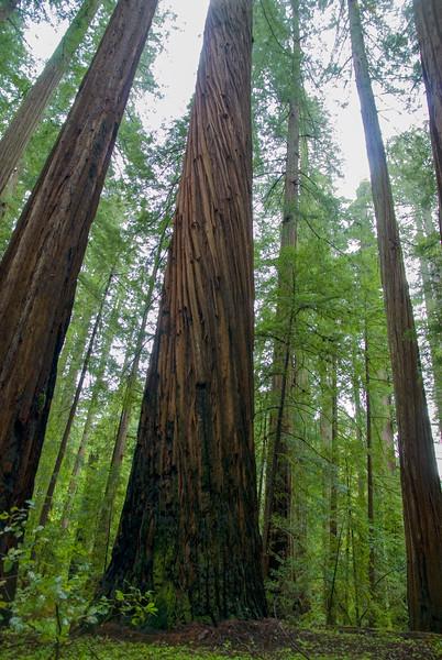 Redwoods #1, Sonoma County, CA