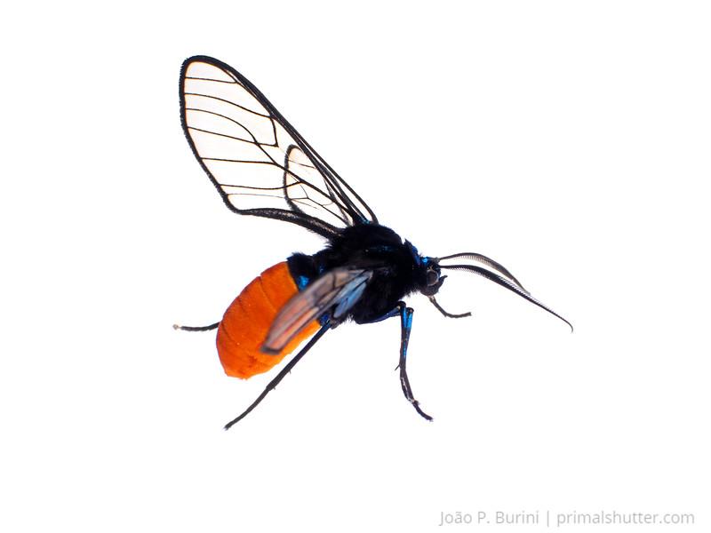 Arctini moth, possibly Cosmosoma sp. Tapiraí, São Paulo, Brazil Atlantic forest (rainforest strictu sensu) March 2017
