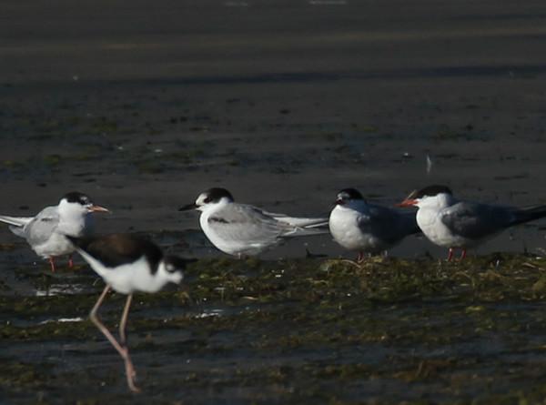 Common Tern  Crowley Lake 2012 08 24 (2 of 5).JPG