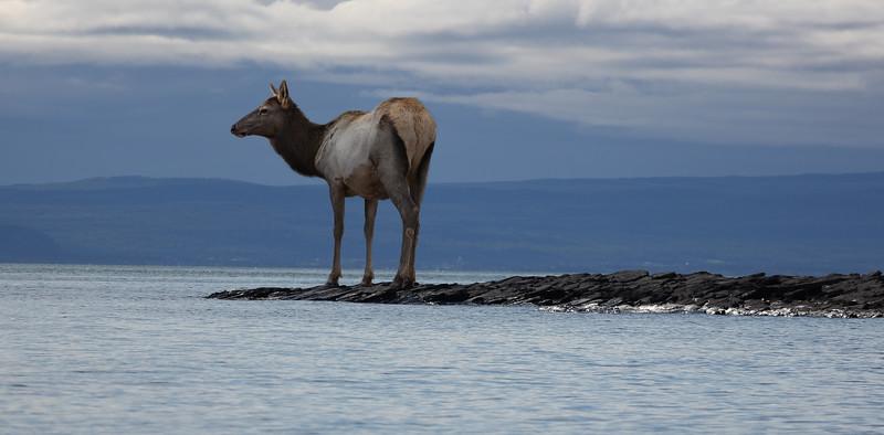 water-deer.jpg