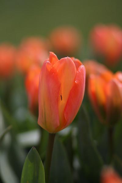 Tulips-2010 02.JPG