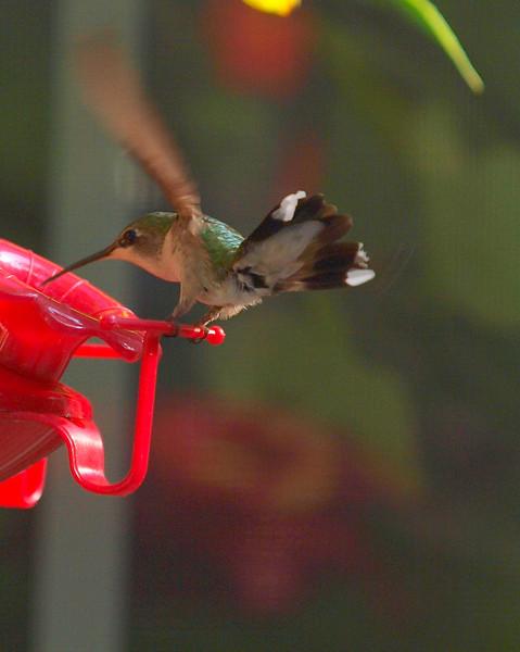 hummingbird on feeder 2.jpg