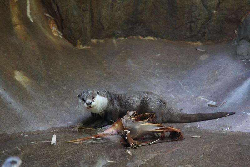 20170807-128 - San Diego Zoo - Otter.JPG
