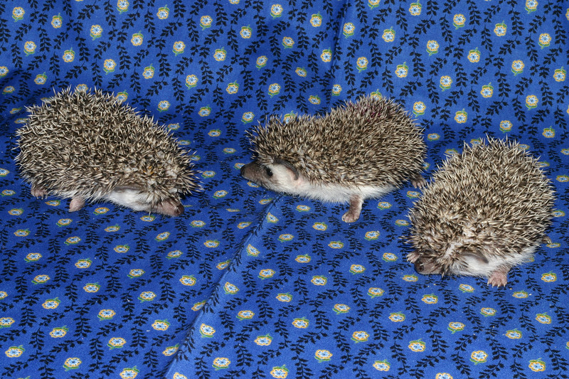 Litter - Roy and Chloris (03/17/2005)  Litter - Roy and Chloris (03/17/2005)  Filename reference: 20050426-225119-HAH-Hedgehog_Babies