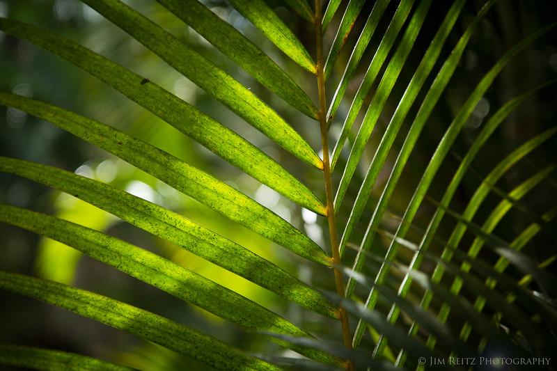 Palm leaves, Wailea, Maui