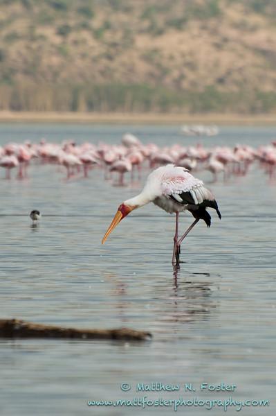Yellow-billed Stork, Lake Nakuru, Kenya