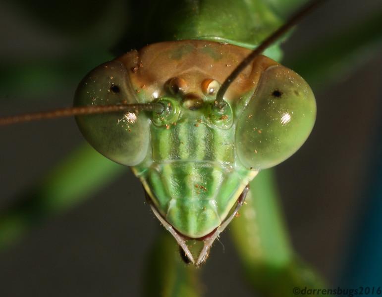 Chinese mantis, Tenodera sinensis, from Iowa.