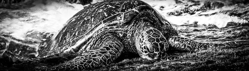 sea turtle B&W Pano