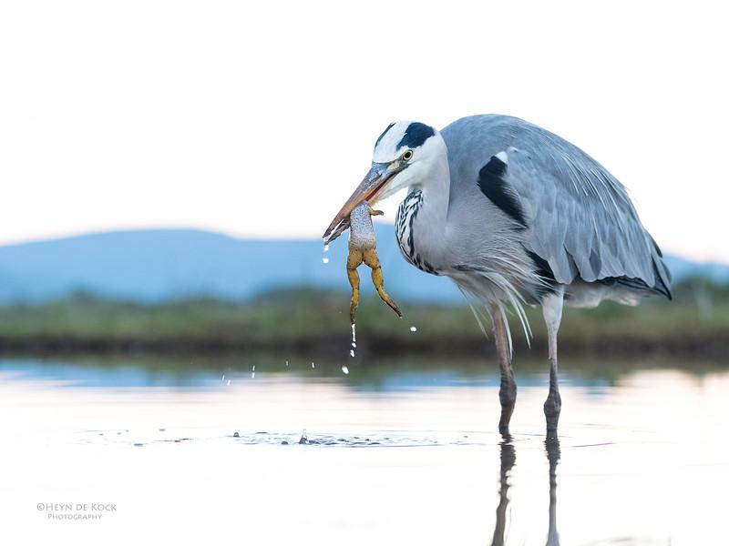 Grey Heron & African Clawed Frog, Zimanga, South Africa, May 2017-7.jpg