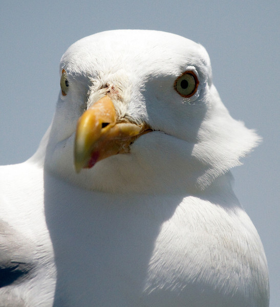 The Face of a white gull on Martha's Vineyard