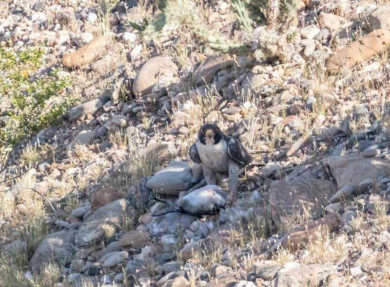 Nevada: Peregrine Falcon