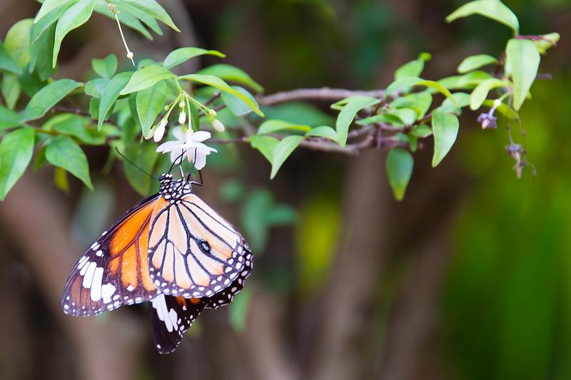 Mekong Butteryfly.jpg