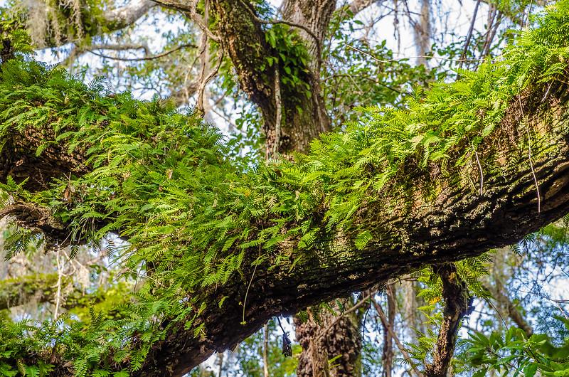 Epiphytic Ferns