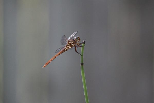 Dragonfly 9-5