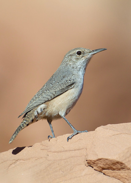 Rock Wren - the first of this species I have seen!