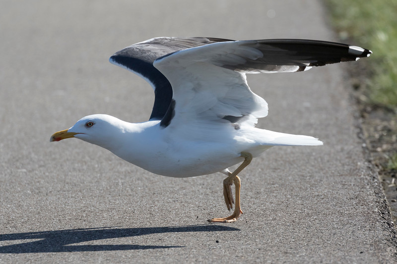 kleine mantelmeeuw, lesser blackbacked gull