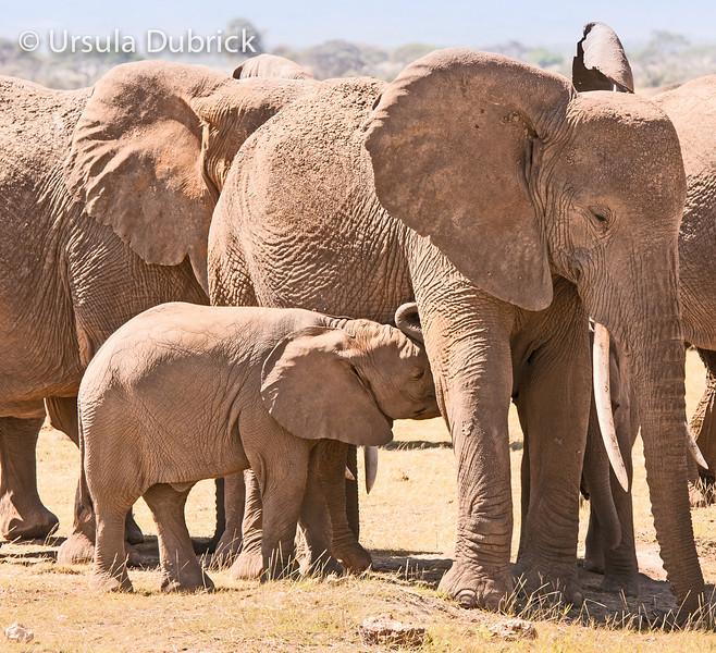 Baby Elephant Nursing - Kenya