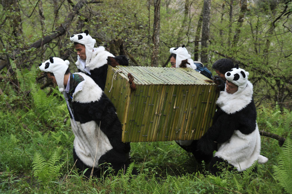Description of . Workers wear panda costumes as they carry a box to transport Giant Pandas back to the wild, at the Wolong National Nature Reserve in Wolong, southwest China's Sichaun province on May 3, 2012.   The bears will be left to fend for themselves to learn crucial survival skills, and scientists plan to gradually reduce human interactions until they can live in the wild without any assistance, and while there have already been 10 attempts at setting pandas free over the past 30 years, and only two are thought to have been successful as the bears find it very hard to survive on their own.       AFP PHOTOAFP/AFP/Getty Images
