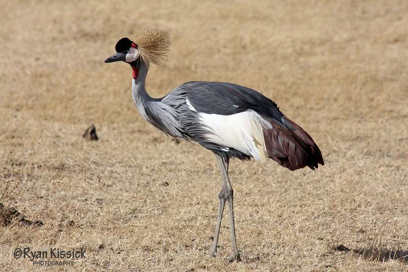 Interesting bird called a Crowned Crane