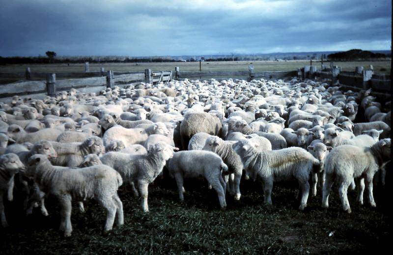 1962-7 (33) Lambs.JPG