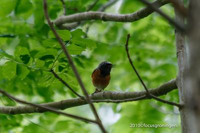 Vogels Gekraagde Roodstaart