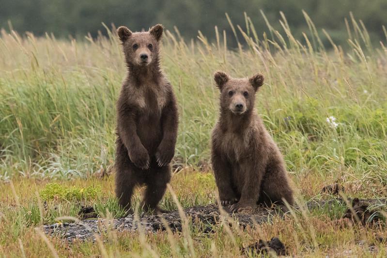 alaska-bears-14.jpg