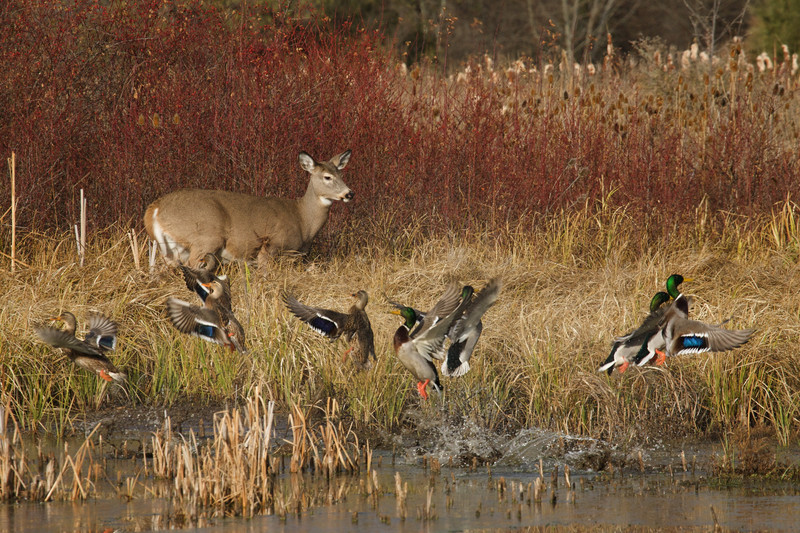Whitetail doe sharing wetland habitat with Mallards.