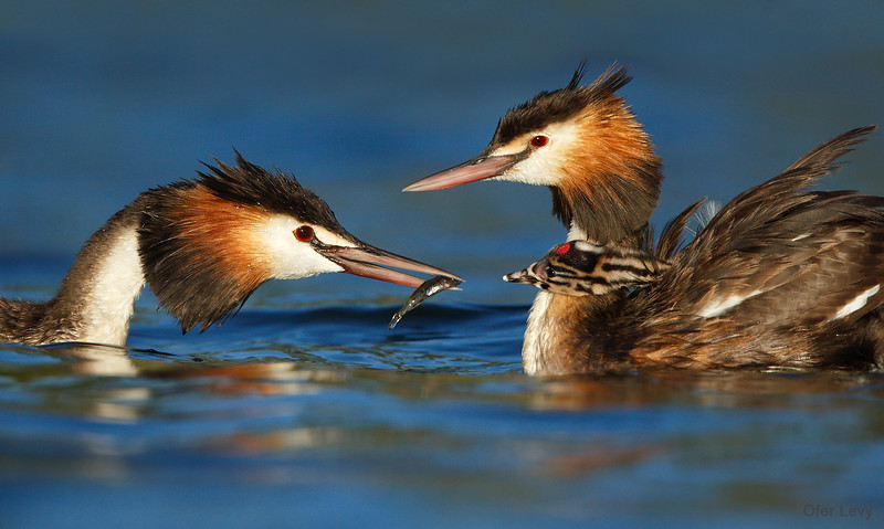 Great-crested Grebe 18.jpg