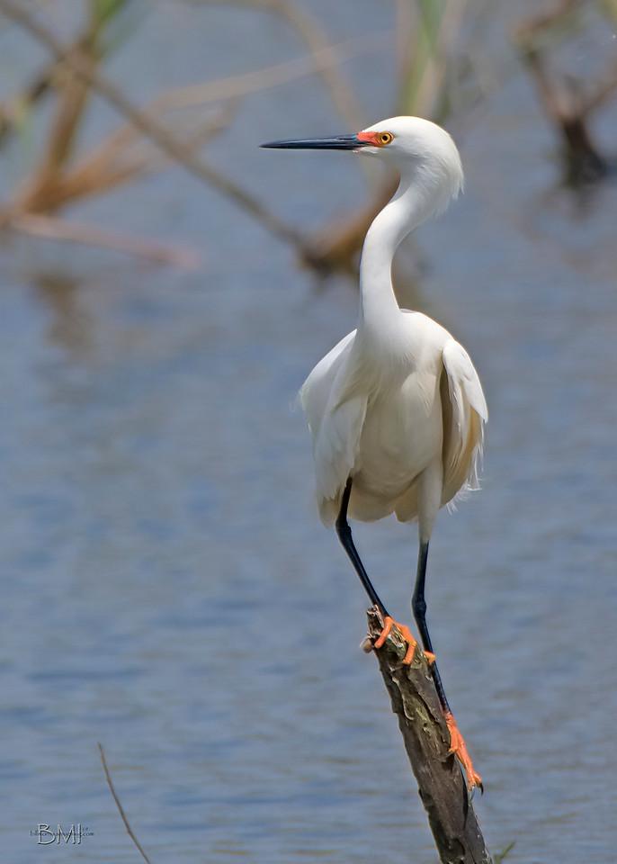 IMAGE: https://photos.smugmug.com/Beautyinthetreesandintheair/Herons-egrets-and-other-large-wading-birds/i-qwFKvkb/0/02078ffa/X3/Snowy%20egret%203-30-19-6-X3.jpg