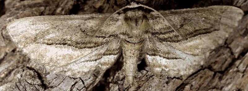 H06773  P179HolochroaDissociariusVaria481 Apr. 4, 2019  7:04 a.m.  P1790481 This is Holochroa dissociarius varia at a night light under an oak near the parking lot at LBJ WC.  Geometrid.