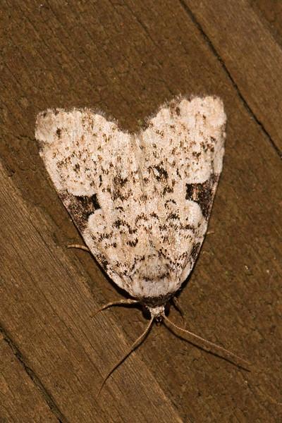 Leuconycta - Green - (Leuconycta diptheroides) - Dunning Lake - Itasca County, MN