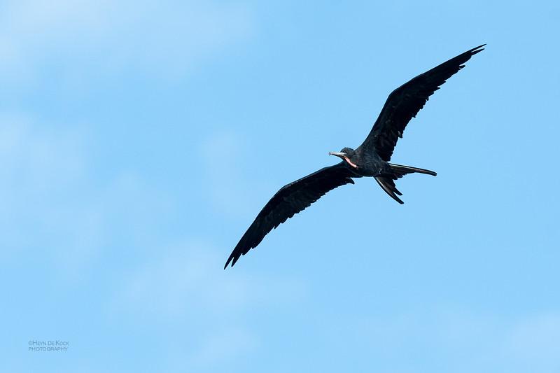 Magnificent Frigatebird, Fort De Soto, St Petersburg, FL, USA, May 2018-5.jpg