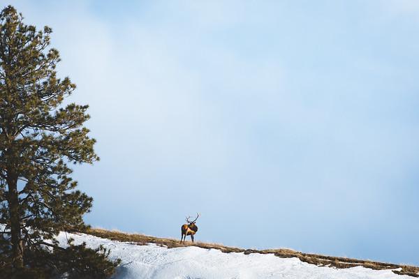 Wintering Elk