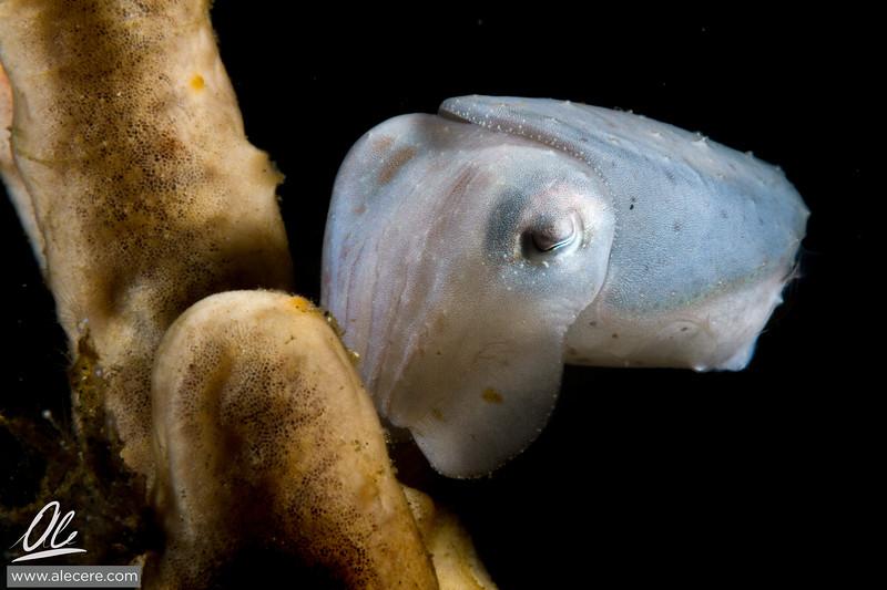 White cuttlefish