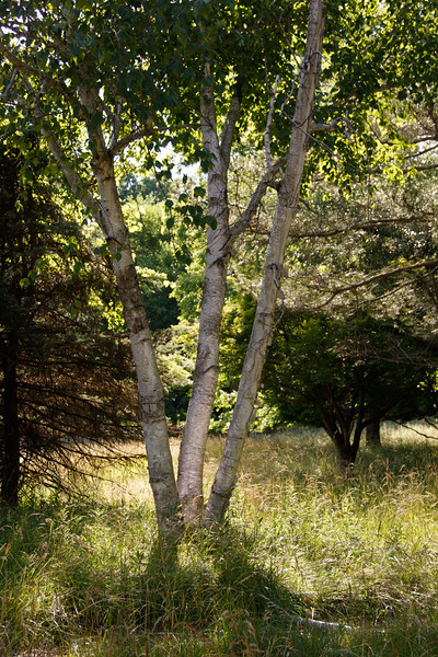_I0A2942 birch tree in front of house.jpg