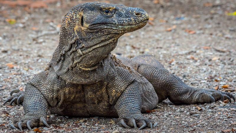 Komodo Dragons-2248.jpg