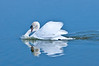 Mute Swan in Click Ponds at Viera Wetlands #1 01/14
