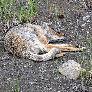 7-21-20 Coyote Pair KC