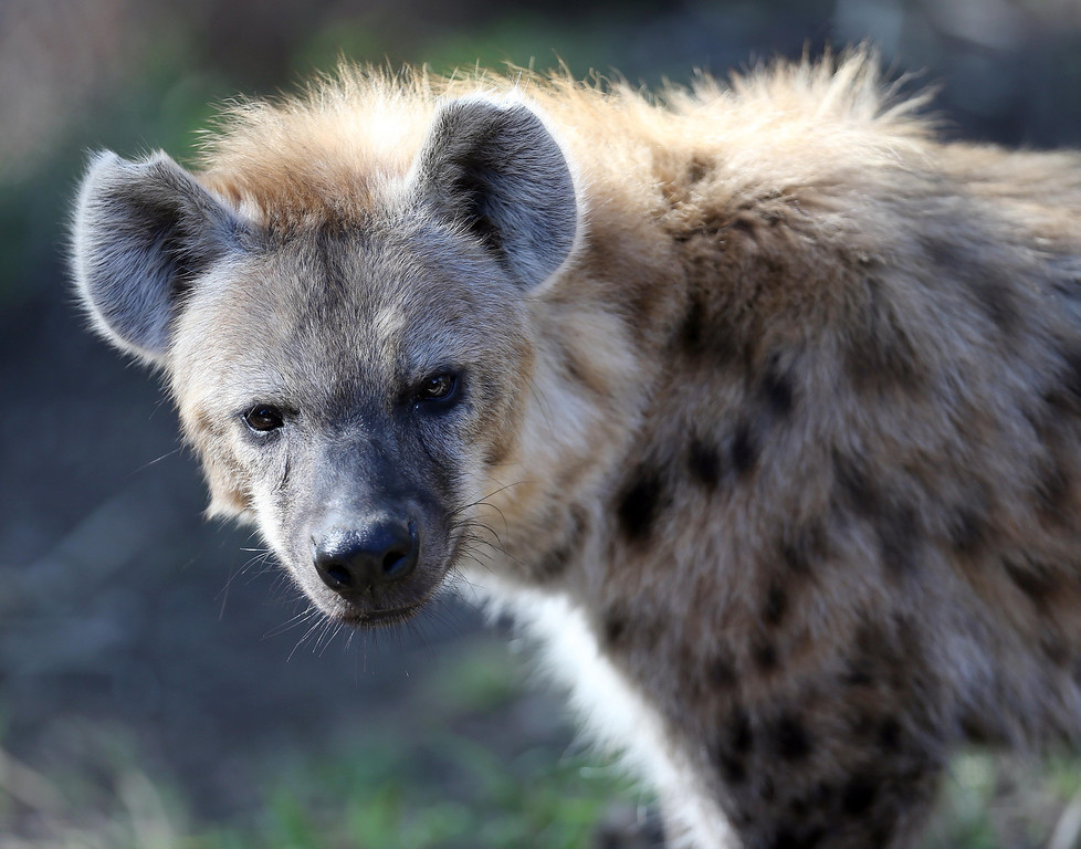 . One of Oakland Zoo\'s three new spotted hyenas is seen in their habitat at the zoo in Oakland, Calif. on Thursday, Jan. 10, 2013. The hyenas were relocated from the Berkeley Hyena Center at UC Berkeley, where they were being studied in a research program which suffered funding cuts.  (Jane Tyska/Staff)