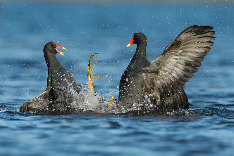 Moorhen fighting TWO MASTER.jpg