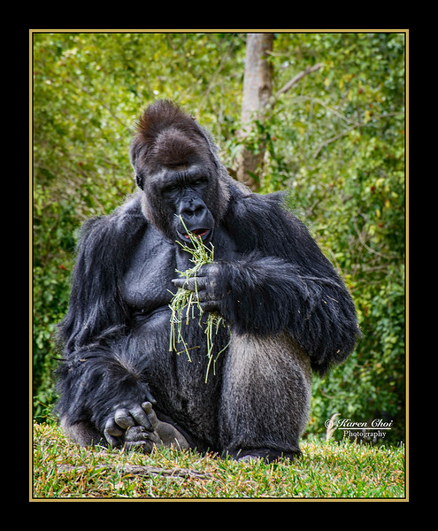 Gorilla eating grass sm.jpg