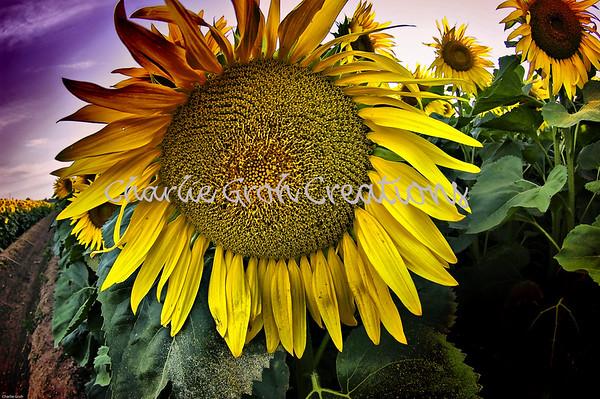 SunSunSunflowers