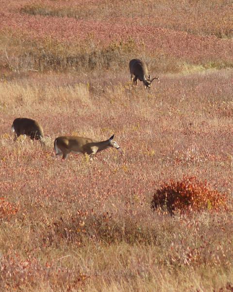 Big Meadows deer.jpg