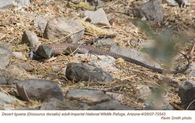 DesertIguanaA72543.jpg