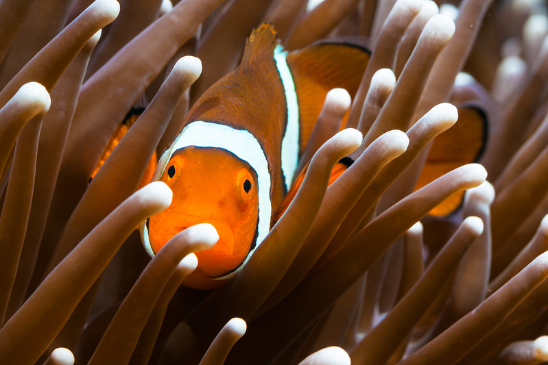 Clown fish - April 2016-3474-Edit.JPG