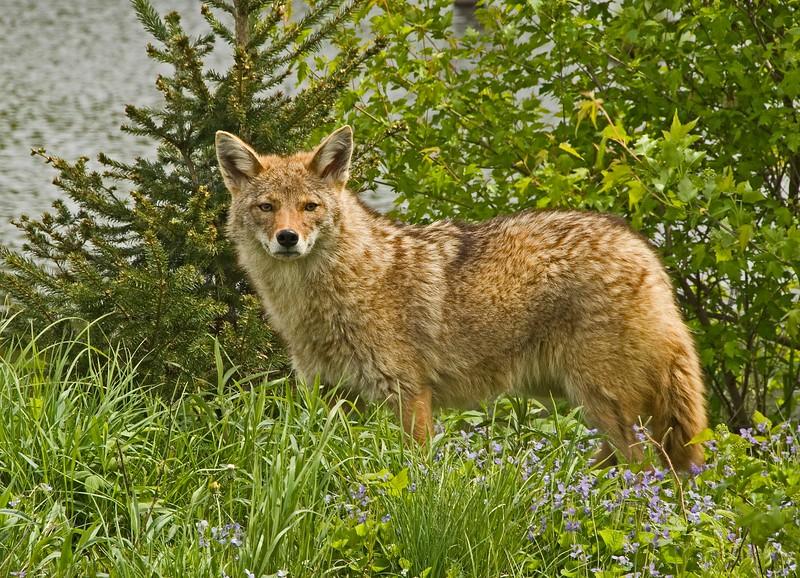 Coyotes-1.jpg