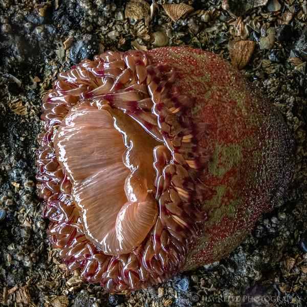 Painted Anemone - Bainbridge Island, WA