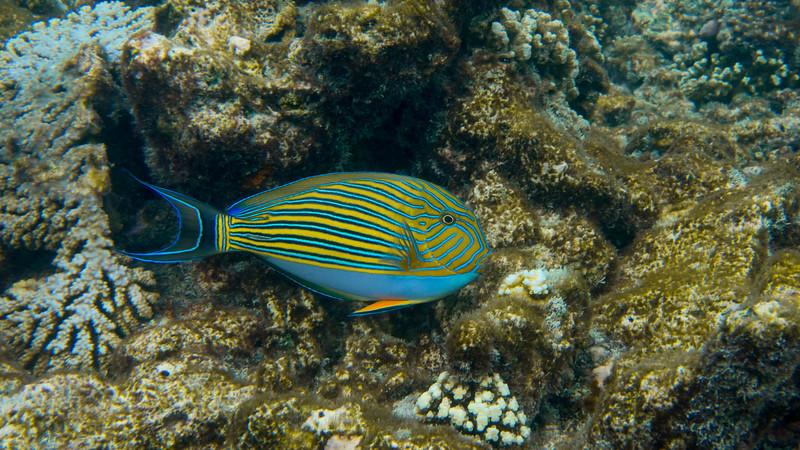 Lined Surgeonfish, Acanthurus lineatus