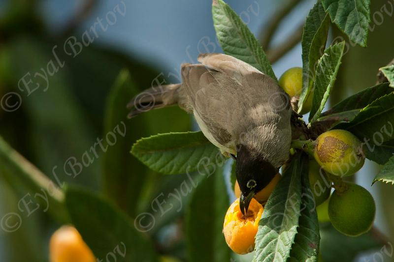 White-spectacled Bulbul (Pycnonotus xanthopygos) - בולבול
