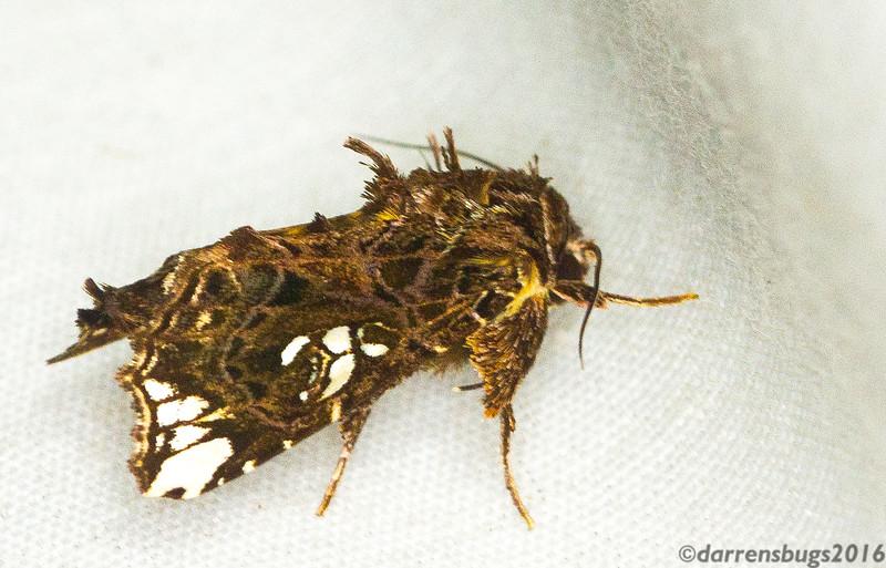 Noctuid moth (Noctuidae: Argyrosticta ditissima) from Panama.